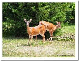 2-Oh deer 2014-07-17 002