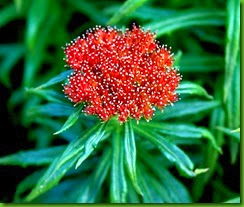 Rhodiola linearifolia