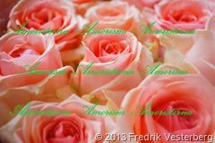 DSC01269.JPG blommor Rosa rosor (1) Förstärkt färg