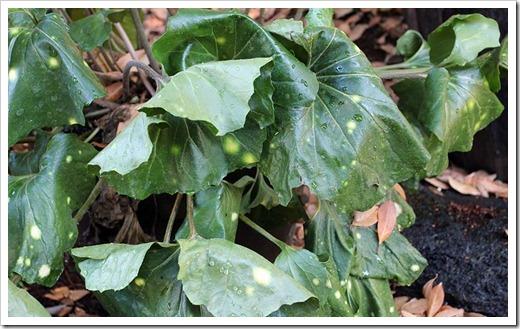 110813_Farfugium-japonicum-Aureomaculatum_03