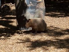 2009.05.16-018 capybara