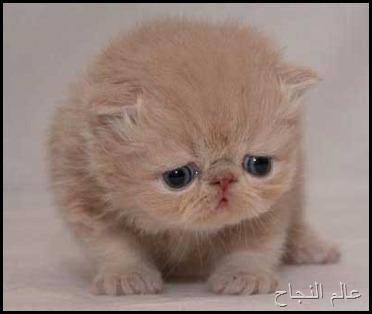 قطة صغيرة