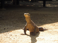 Komodo dragon at Rinca island