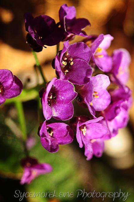 purple-w