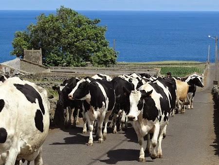 16. Vaci in Azore.JPG