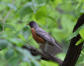 Beautiful American Robin