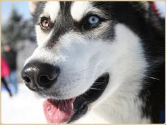 Ездовой пёс
