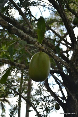 Calabash Tree . . . they make maracas out of these