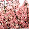 新社櫻花祭櫻木花道