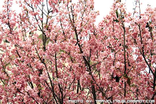 【2012台中賞櫻花景點】新社櫻花祭櫻木花道~粉嫩嫩的粉紅佳人