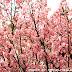 台中-新社櫻花祭櫻木花道