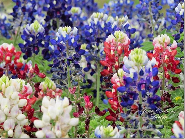 Red_White_Bluebonnets_kk_gift