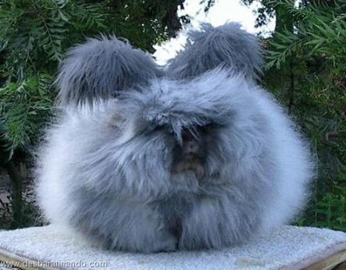 coelho angora peludo desbaratinando (14)