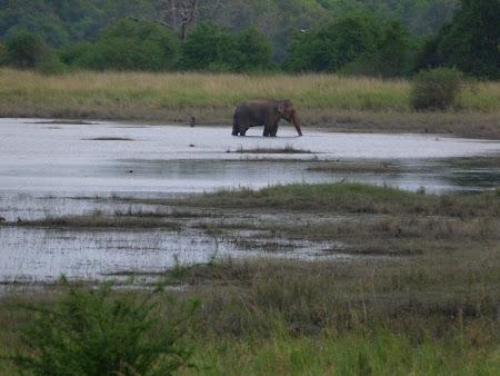Elefant salbatic in Sri Lanka