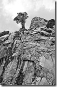 Yosemite_Ltl_Tree247