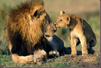 Amazing Animals Pictures Lion  (9)