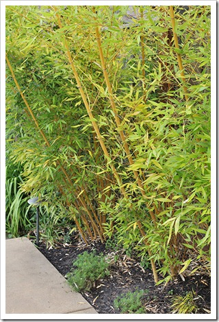 110804_Phyllostachys-viridis-Robert-Young_09