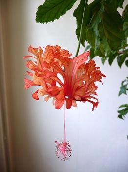 024 korr Hibiscus schizopetalus Daniel Grankvist
