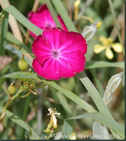 31-Rose-Campion-lychnis-coronaria