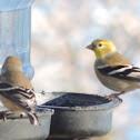 American Goldfinch     winter plumage