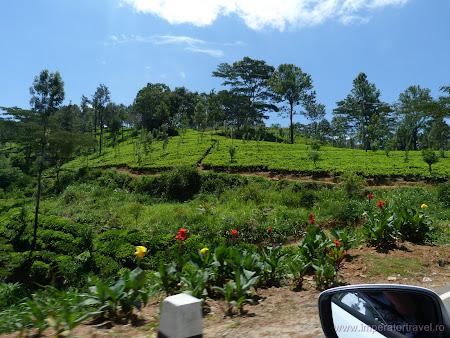 13. plantatii ceai Ceylon.JPG