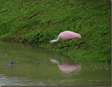 gator and spoonbill