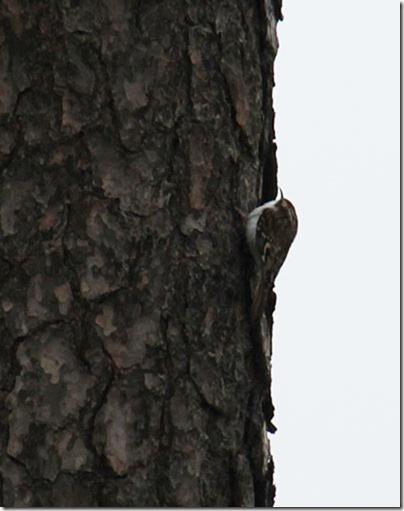 83-treecreeper