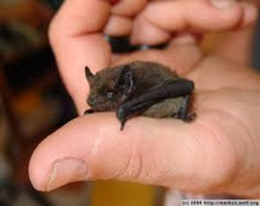 Amazing Pictures of Animals, Photo, Nature, Incredibel, Funny, Zoo, Common pipistrelle, Mammals, Alex (10)