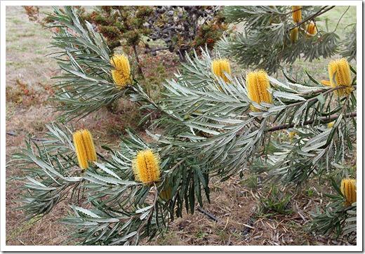 111015_Santa-Cruz_UCSCA_Banksia-attenuata_03