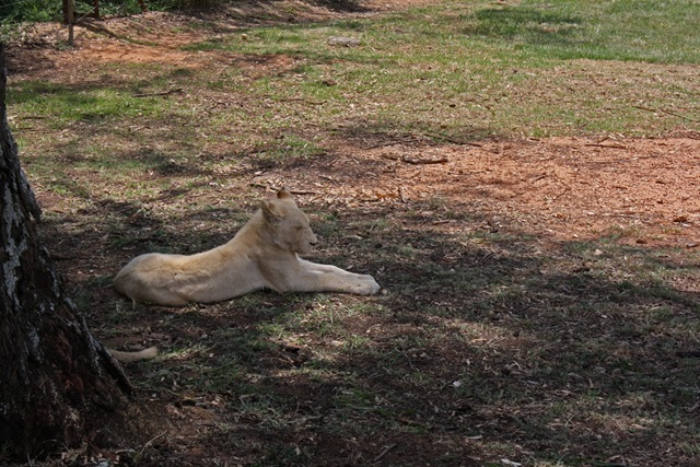 White Lion Cub, Lion Park Johannesburg
