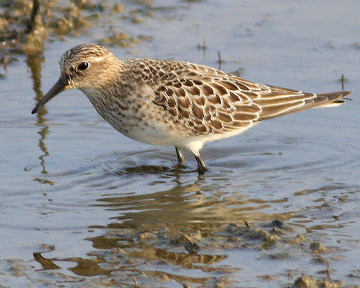 9-19-09, Minor Clark Fish Hatchery, Baird's Sandpiper, 8:42 a.m.