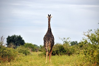 An adult male giraffe.