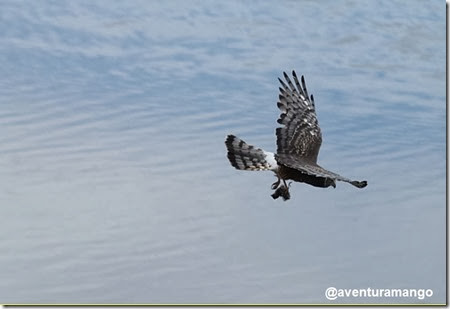 Um Falcão plumado (Falco femoralis) carrega sua refeição