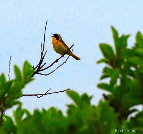 6. common yellowthroat-kab