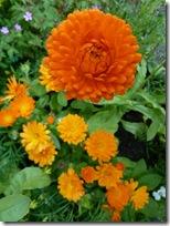 kellie marigolds