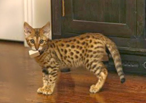 Amazing Pictures of Animals, Photo, Nature, Incredibel, Funny, Zoo,  Savannah cat,  domestic hybrid cat, Alex (10)