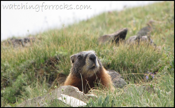 IMG_2940Yellow BelliedMarmot