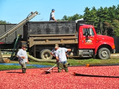 cranberry harvest 9.28.13 getting berries off of richards bog2