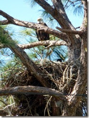 Bald Eagle nest in Cedar Key