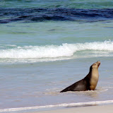 A Seal Coming Out Of The Surf - Adelaide, Australia