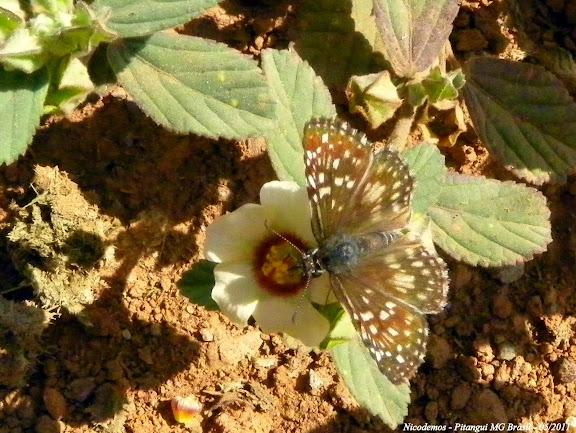 Hesperiidae : Pyrgus orcus (STOLL, 1780), femelle. Pitangui (MG, Brésil), 4 mai 2011. Photo : Nicodemos Rosa