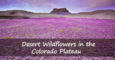 desert-wildflowers