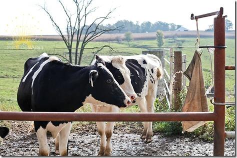 cows-9783