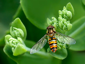Hoverfly on Sedum spectable by John Powell EFIAP DPAGB BPE4