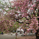 Shinjuku Gyoen cherry blossoms in Shinjuku, Tokyo, Japan
