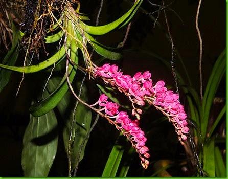 OR Rodriguezia lanceolata