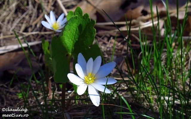 flori-primavara-canada-15.jpg