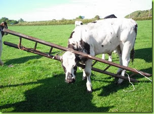 cow ladder