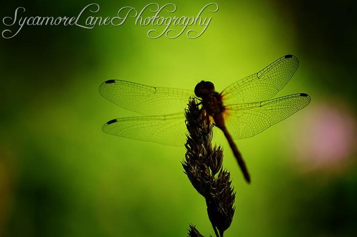 dragonfly-w