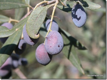 Olives closeup, tb112103241